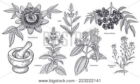 Set of isolated medical plants, flowers and herbs. Amur cork tree, cinnamon, shepherd's purse, holy basil, sage, passionflower, mortar, pestle. Vintage engraving. Vector illustration. Black and white.