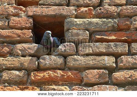 Wild dove sitting in a niche in the brick wall