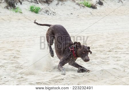 German shorthaired pointer playing on the beach in Australia.