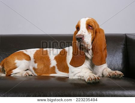 dog of breed of Basset-haund lies on leather sofa