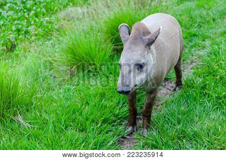 Closeup photo of a South American Tapir Scientific Name: Tapirus terrestris Stock