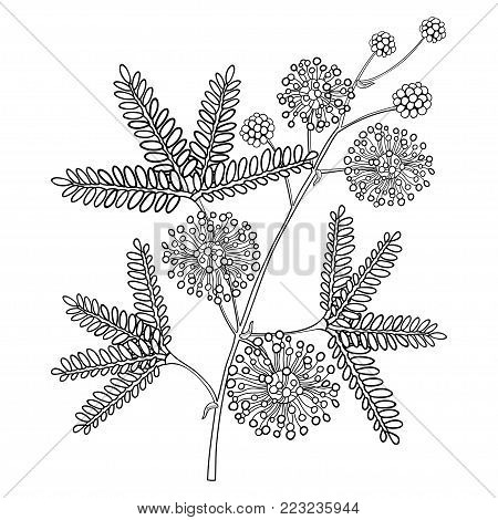 Vector branch of outline Mimosa pudica or sensitive plant or sleepy plant, flower, bud and leaf in black isolated on white background. Mimosa bunch in contour for spring design or coloring book.