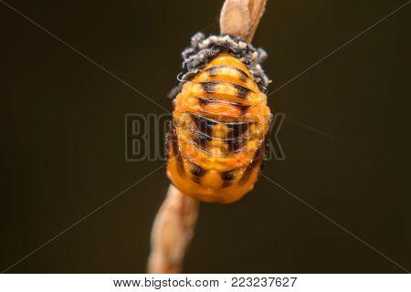 Macro Of Ladybug Hide On Dry Pollen In Nature.selective Focus