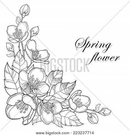 Vector Branch Of Outline Jasmine Flowers Bud And Leaves In Black Isolated On White Background