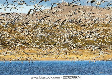 Snow Geese (Chen caerulescens)  at Bosquel del Apache National Wildlife Refuge near Socorro, New Mexico at sunrise poster