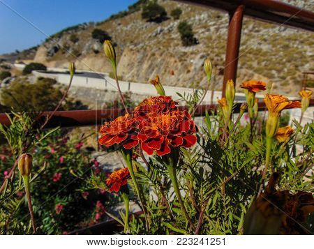 Beautiful flowers nearby the Imbros Gorge, Greece
