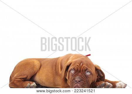 cute french mastiff lies down on white background with copy space above it