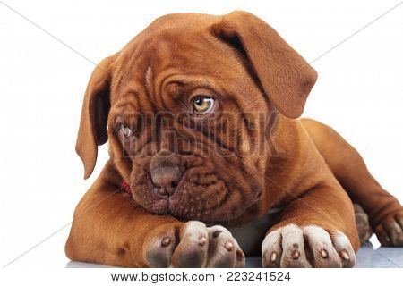 shy little puppy dog looks to side while lying down on white background