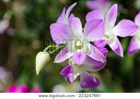 Orchid flower in orchid garden at winter or spring day for postcard beauty and agriculture idea concept design. Dendrobium orchid. Hybrid orchid.