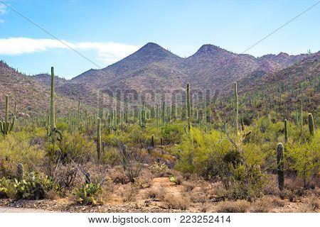 Field Of Saguaro Cactus Climbing Mountains In Arizona Desert