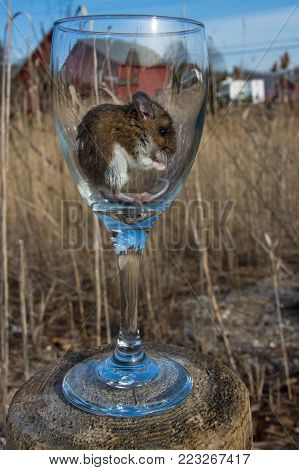 A side view of a very relaxed wild brown house mouse, Mus musculus, inside of a long stemmed wine glass.  The glass is in front of a barn in a meadow with long grass or hay.   Balancing on a stump in the sun, the rodent appears content with his new transp