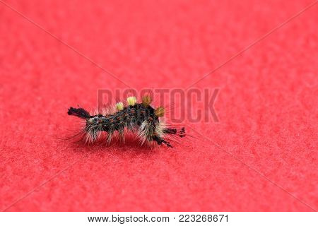 Lymantria Dispar Dispar Crawling On A Red Background Bent In Half, An Insect, A Butterfly, A Pest, A