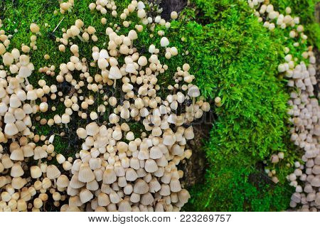 A lot of Coprinellus Coprinus disseminatus, aka fairy inkcap and trooping crumble cap on an old stump, covered with juicy green moss with a colorful sprouts. Close-up macro shot.