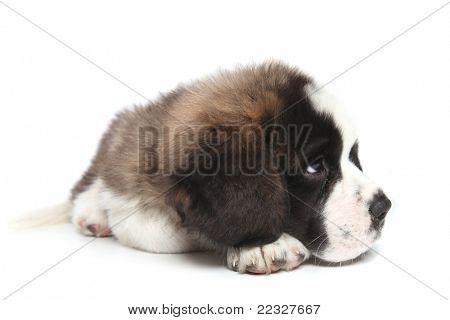 Adorable Saint Bernard Puppy Sheepishly Looking Sideways