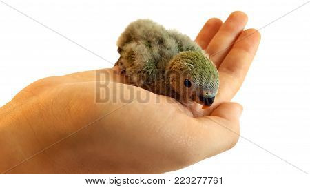 Little baby bird on human hand. This kind of bird is actually an agapornis with less than a month of live.  This agapornis is also called
