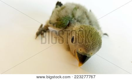 This kind of bird is actually an agapornis with less than a month of live.  This agapornis is also called