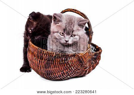 Scottish Fold and Scottish Straight playful kitten in basket isoliert on white background