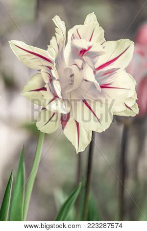 Tulips, tulipa blooming in spring time, dyed with a wide variety of colors