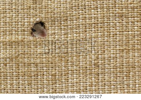 closeup the head of the field mouse (Apodemus agrarius) peeps from the holes in the linen sack, in left up corner. background with plenty of space for text