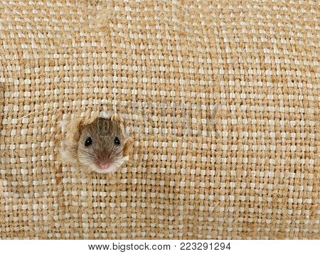 closeup the head of the field mouse (Apodemus agrarius) get out from the hole in the linen sack and looking at camera