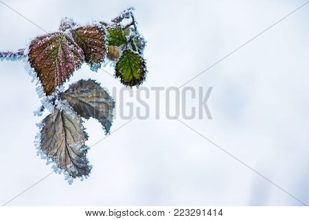winter, a branch of raspberry with dry leaves covered with frost, a symbol of persistence and endurance