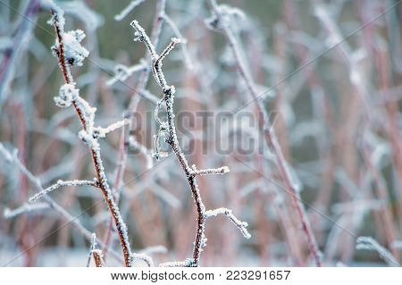 winter, a branch of dry raspberries, covered with hoarfrost, a symbol of persistence and endurance