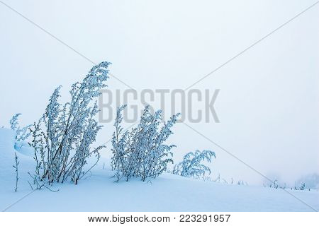 winter, a branch of a dry plant covered with hoarfrost, on the right and top, free space, a symbol of persistence and endurance