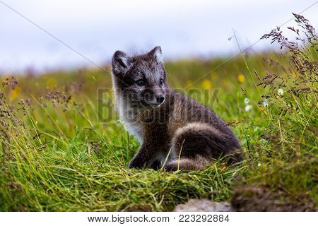 Cute arctic cub fox in Summer, Iceland