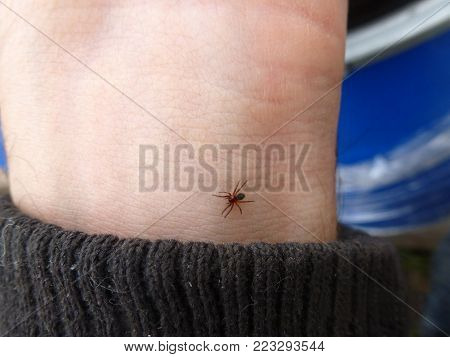 a small poisonous spider on the arm of a man bites the skin injects poison