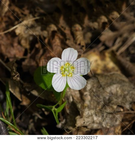 Common Wood Sorrel, Oxalis acetosella, flower macro with leaves defocused, selective focus, shallow DOF.