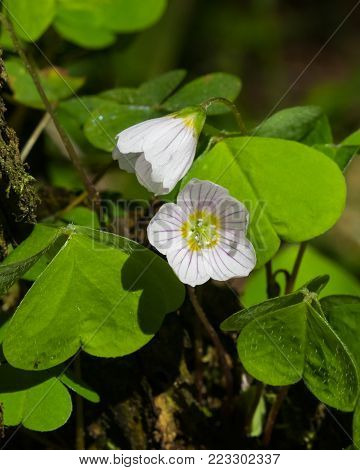Common Wood Sorrel, Oxalis acetosella, flowers macro with leaves defocused, selective focus, shallow DOF.