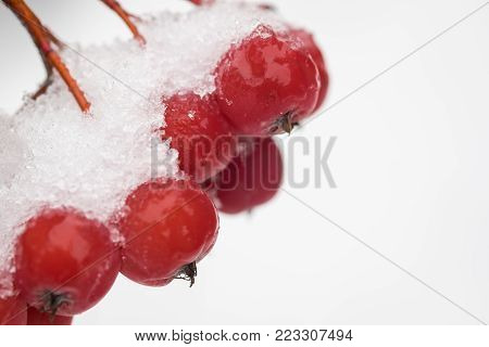 Bunch the snow-covered rowanberry on white background, close-up, space for text