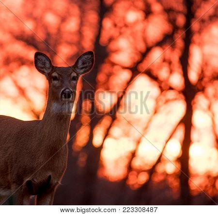 Whitetailed Deer Doe At Sunrise In Jefferson Barracks National Cemetery, St. Louis