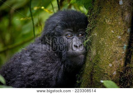 An Infant Mountain Gorilla In Volcanoes National Park In Rwanda