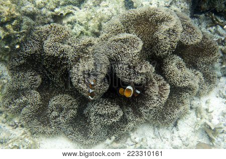 Clownfish in anemone under the sea, Togian island, Indonesia