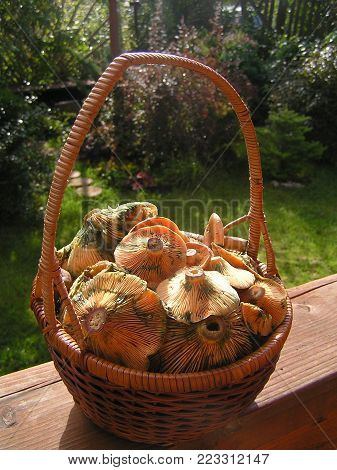 Wicker basket filled with mushrooms (Lactarius deliciosus on Latin) - beautiful and delicious mushrooms