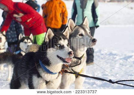 POLAZNA, RUSSIA - JANUARY 21, 2018: a pair of harnessed Siberian huskies before the start of the dog sled race closeup on a blurred background