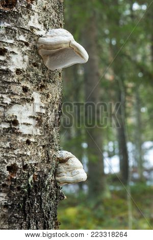 Close-up of two polypores growing on a birch tree in a forest in Finland.