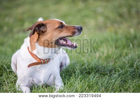 Happy five-year-old Danish Swedish resting on a lawn during summer in Sweden. This breed, which originates from Denmark and southern Sweden is lively and friendly.