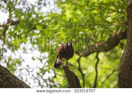 Parabuteo unicinctus - Harris's hawk - Buzzard of Harris in the wood