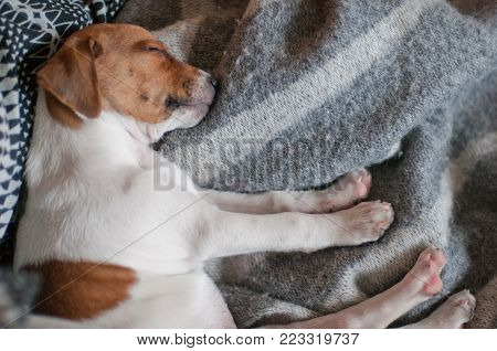 Cute two months old Danish Swedish Farmdog puppy. This breed, which originates from Denmark and southern Sweden is lively and friendly.