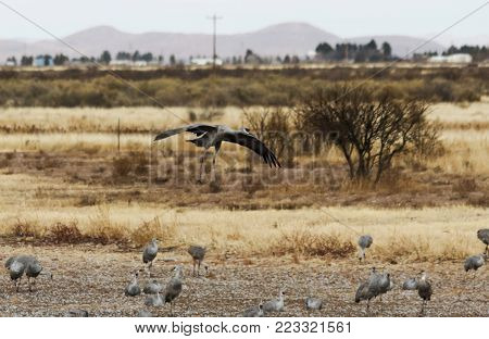 A Sandhill Crane Glides In, Rejoining its Winter Surivival Group at Whitewater Draw, Arizona