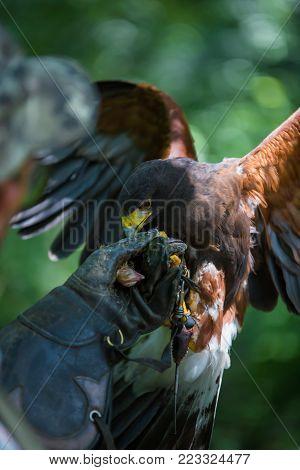 Parabuteo unicinctus - Harris's hawk - Buzzard of Harris while eating a chick laid on the falconer's glove.