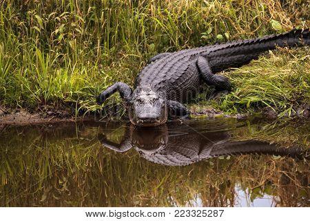 Large Menacing American Alligator Alligator Mississippiensis