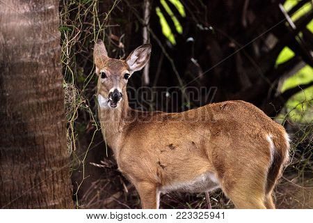 White-tailed deer Odocoileus virginianus forages for food in the wetland and marsh at the Myakka River State Park in Sarasota, Florida, USA poster