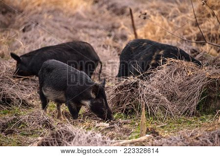 Wild Pigs Sus Scrofa Forage For Food In The Wetland