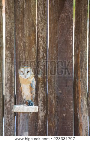 Tyto alba - barn owl resting on his perch.