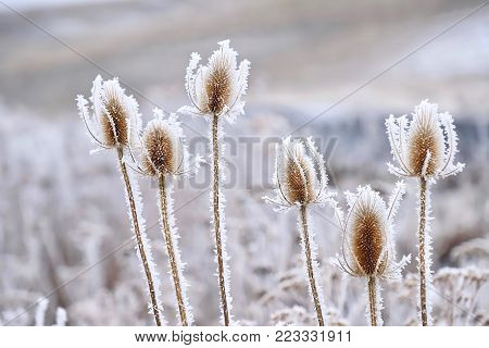 Frozen icy flowers in winter. Rime or hoar frost on teasel (Dipsacus sylvestris) on foggy winter day near Pullman, Palouse region in southwest Washington. United States.