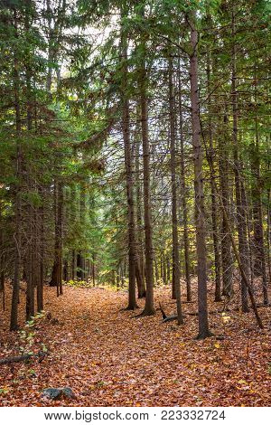 A pine tree lined hiking trail in Jenny Jump State Forest in New Jersey.