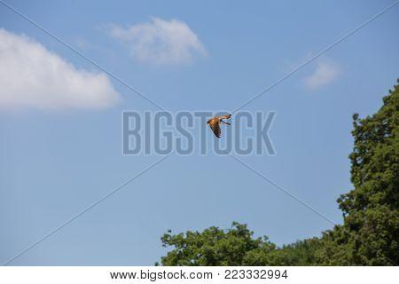 Hawk in flight - Hawk tinnunculus - Common kestrel in flight.